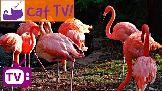 Cat TV - 30 min of Beautiful Flamingos Combined with Soothing Music Engaging Visuals For C ...