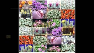 Flowering Cactus Collection: Ariocarpus, Echinopsis, Conophytum Species - SEEDS on  www.MySeeds.Co