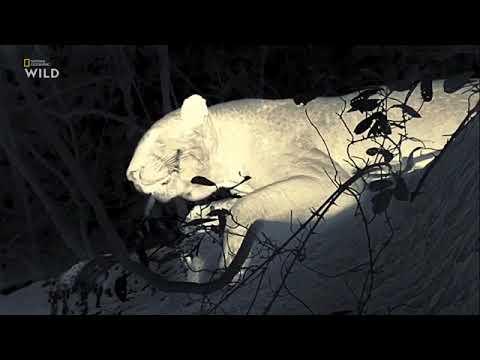 Документальный фильм про животных. Малайка охотница.