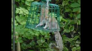 Funny Animals Squirrel In Squirrel Proof Bird Feeder
