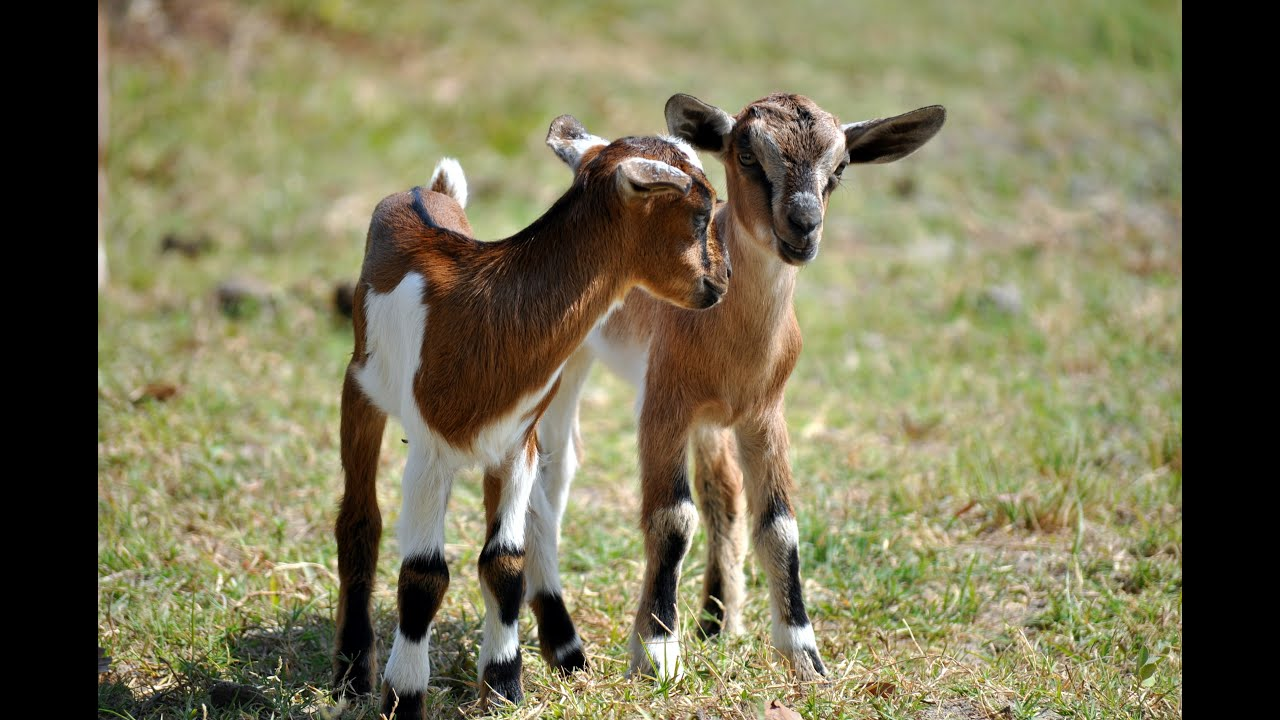 R Goats Goat Kids Playing | Go...