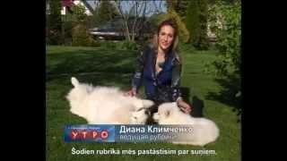 Собаки породы САМОЕД/ Самоеды