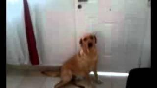 Weimaraner Y Labrador