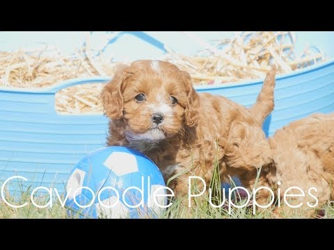 TOY CAVOODLES jumping out of bucket!!!