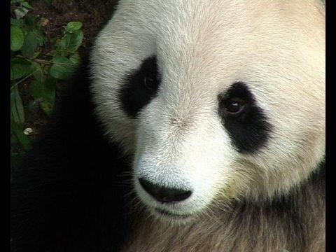 Beijing Olympics 2008 - Chinese pandas