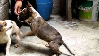 Hermoso Cachorro Bull Terrier Lima