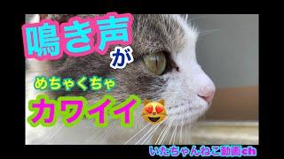 【ねこ動画】鳴き声がめちゃくちゃカワイイ猫がいた