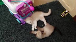 Koffee siamese cat 1-0 meeting and playing with his bigger brother 0-1 video 2
