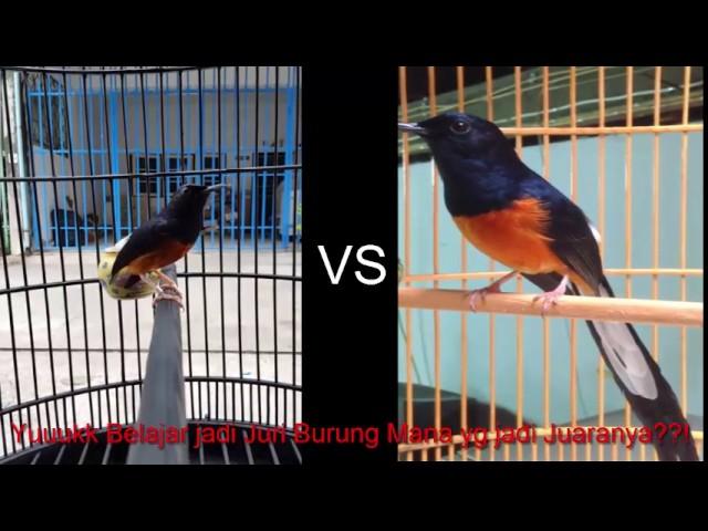 Duel 2 Juara Burung Murai Batu Berani Belajar Jadi Juri Burung Murai Youtube