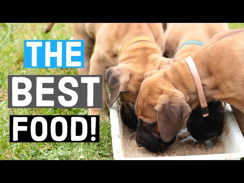 The BEST Food For Great Danes | Great Dane Care