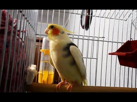 Попугай корелла поет. Пение кореллы Тимошки. Cockatiel Sings