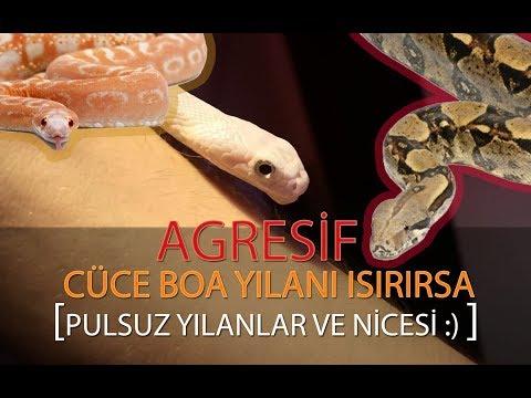 AGRESİF CÜCE BOA YILANI ISIRIRSA! - PULSUZ YILAN !!