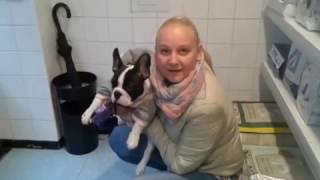 Французский бульдог - Имплантация чипа собаке.