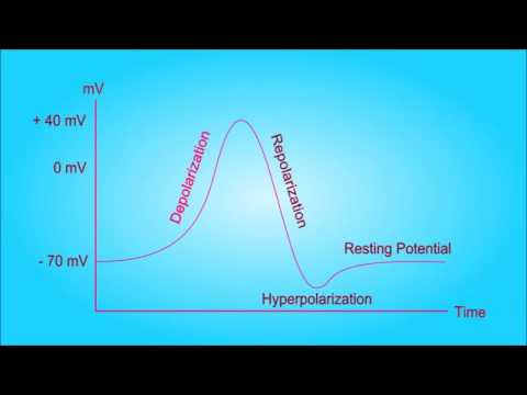 Download Action Potential Explained   The Neuron