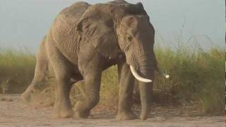 Young Amboseli Elephant Bull with Funny Forehead