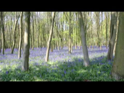 Bluebells at Badbury Clump, Oxfordshire