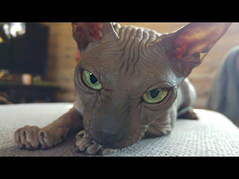 """Lovely Sphynx cat """"Chikita"""" / DonSphynx /"""