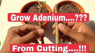How to grow Adenium cutting , Adenium plant care after cutting