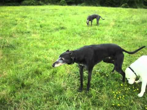Greyhound Danny meets Boxer Harry