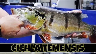 catching-moving-3-temensis-peacock-bass-to-the-mega-tank-part-2