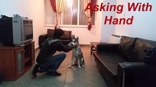 Husky Tricks Puppy 6Month Old.amazing husky tricks.dog tricks.Siberian Husky Tricks\Training Trained