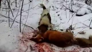 норная охота на лису #2