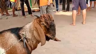 Download lagu Pemotongan hewan qurban di mesjid raya at taqwa