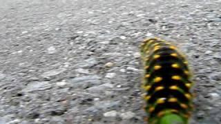 millepede - stonozka