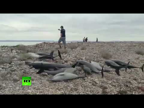 Dozens of dolphins found stranded in Baja California Sur state