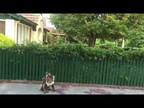 Koala and baby joey walking the streets in Adelaide Australia 11 November 2015