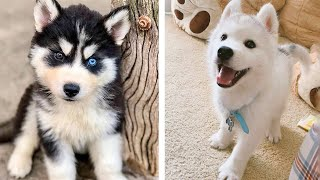 Funny And SOO Cute Husky Puppies Compilation #30  Cutest Husky Puppy