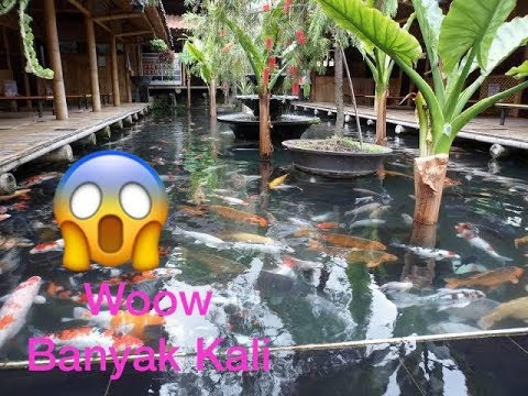 kolam koi dengan ribuan ikan koi super besar - youtube
