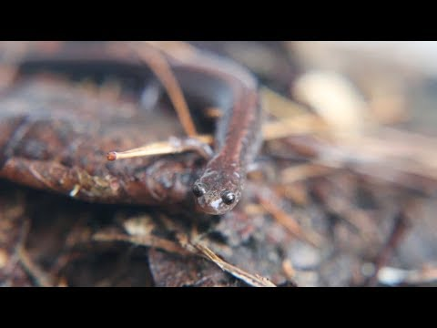 Nature Moments: Redbacked Salamanders, Forest Heavyweights