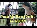 Terapi Burung Cendet Dengan Cendet Ngalas Dan Gacor Agar Cepat Bunyi  Mp3 - Mp4 Download