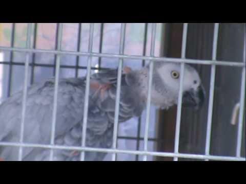 "African Grey Cameroon Breeder's ""The Big Silver's""  [HD] In my backyard breeding program"