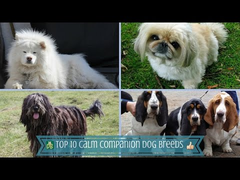 Top 10 Calm Companion Dog Breeds