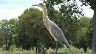 Birds expecting rain, Maria faceira, Syrigma sibilatrix,  Whistling Heron, Seriema, Red-legged,