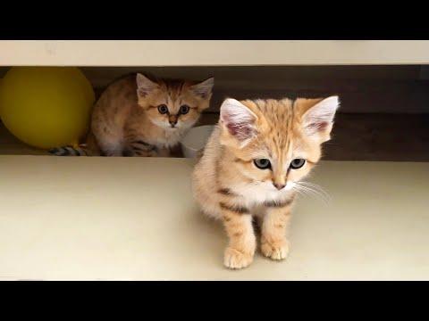 БАРХАННЫЙ КОТ ОХРАНЯЕТ КОТЯТ / Мейн-кун Мелисса разделила котят