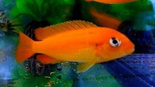 Аквариумные Рыбки. Цихлиды. Аквариумные Рыбки Видео. Цихлиды Малавийские. Футажи для видеомонтажа