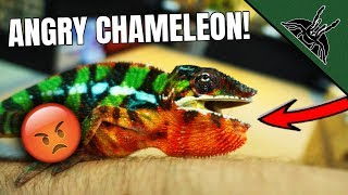 felix-hated-this-panther-chameleon-update