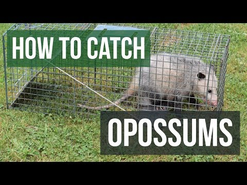 how-to-catch-an-opossum-with-a-live-animal-trap