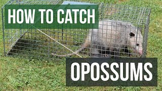 How to Catch an Opossum with a Live Animal Trap