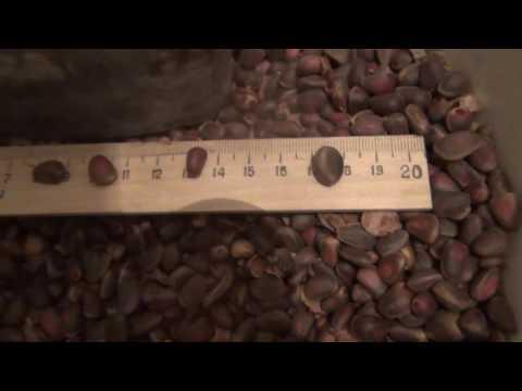 Кедровые орехи в народной медицине