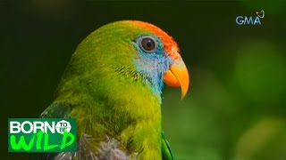 Born to Be Wild: New life for Camiguin Hanging Parrots
