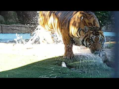 How tigers spend their day!