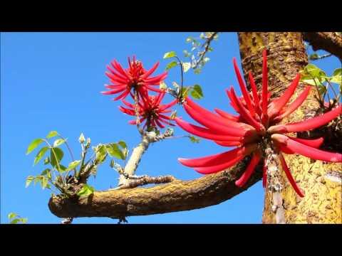 Beauty Naked Coral Tree Blossom