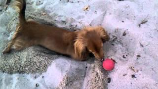 Mini Dachshund Digging For Ball