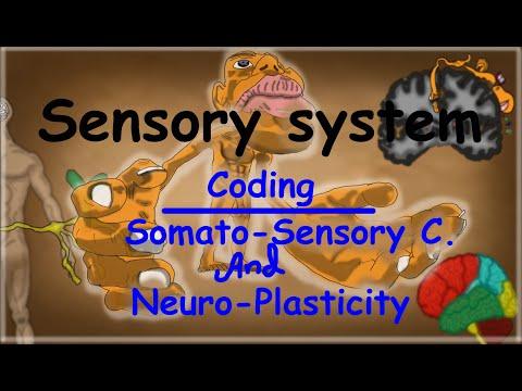 11. Coding of Sensory Information, Somatosensory Cortex and Neuroplasticity