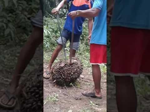 Manusia Terkuat Di Kalimantan