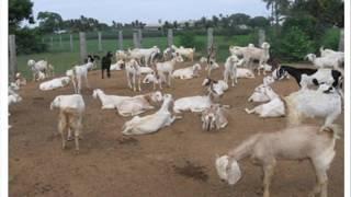 GOAT FARMING FARSH AUR CHARA DR ASHRAF SAHIBZADA